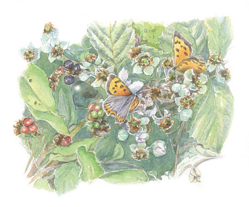Small Copper butterflies